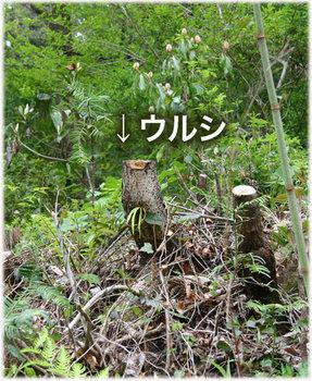 高知のウルシ6.jpg
