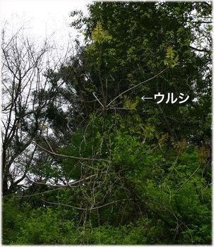 高知のウルシ7.jpg