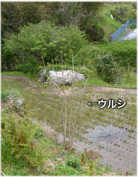 高知のウルシ8.jpg